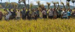 Panen-Raya-Gotong-Royong-TNI-Manunggal-dengan-Rakyat-Mei-2015-di-Kab-TTS-NTT-1